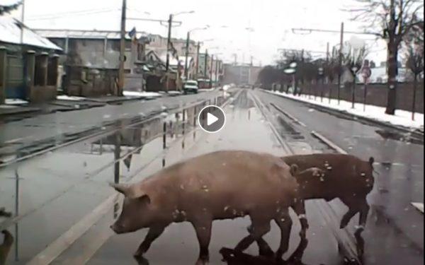 VIDEO   Doi porci au fost filmați în timp ce traversează nestingheriți Bulevardul Muncii din Cluj-Napoca