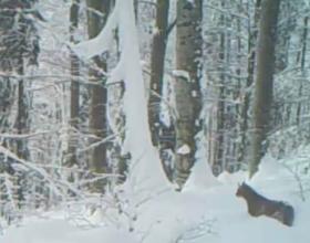 VIDEO INEDIT   Râs ieșit la vânătoare, filmat în Munții Apuseni