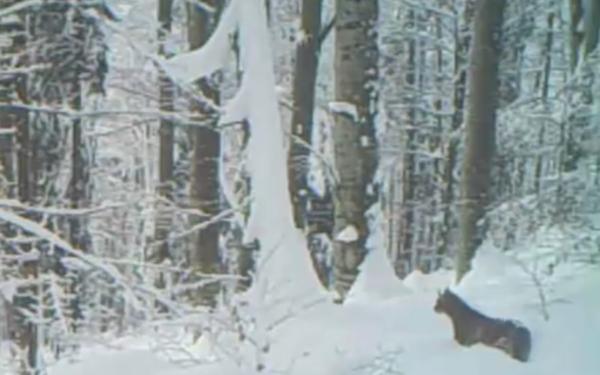 VIDEO INEDIT | Râs ieșit la vânătoare, filmat în Munții Apuseni
