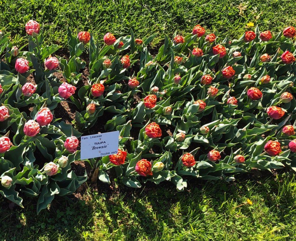 - IMG 3546 1024x835 - 30.000 de lalele colorează Grădina Botanică din Cluj