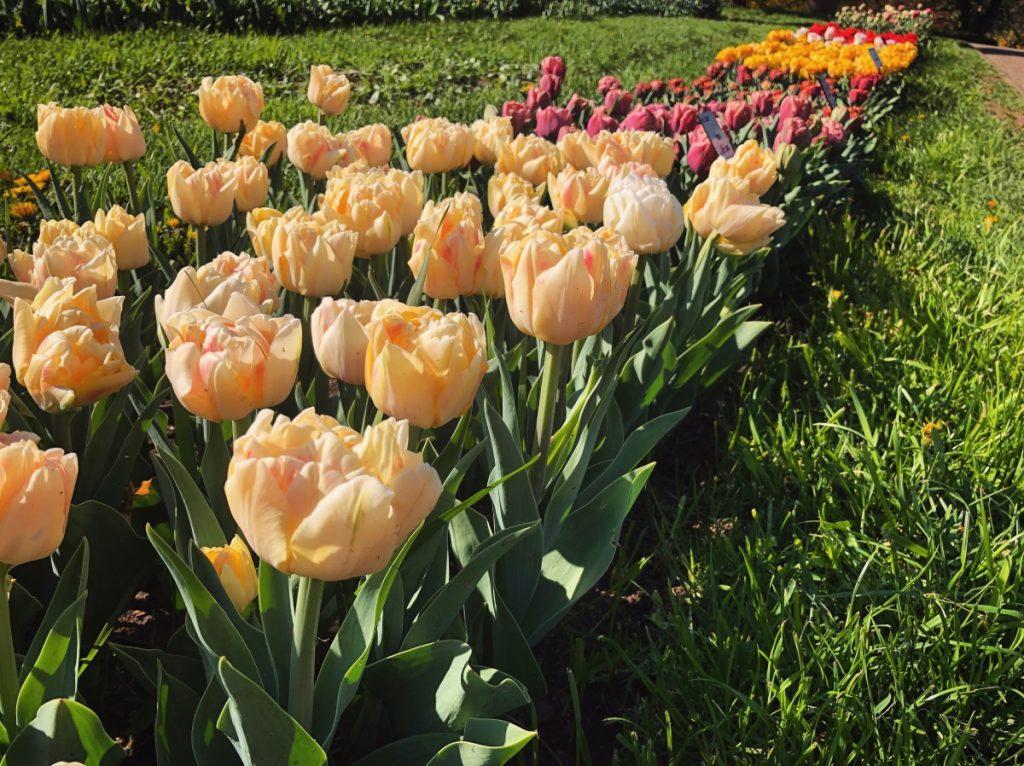 - IMG 3553 1024x766 - 30.000 de lalele colorează Grădina Botanică din Cluj