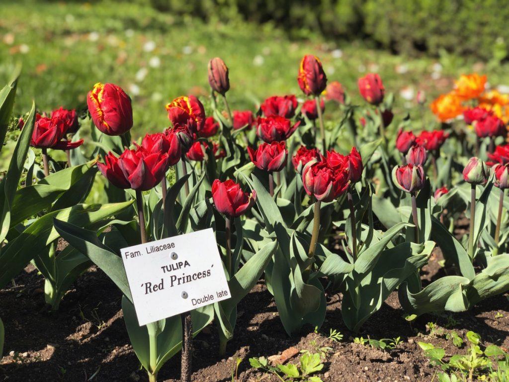 - IMG 3554 1024x768 - 30.000 de lalele colorează Grădina Botanică din Cluj