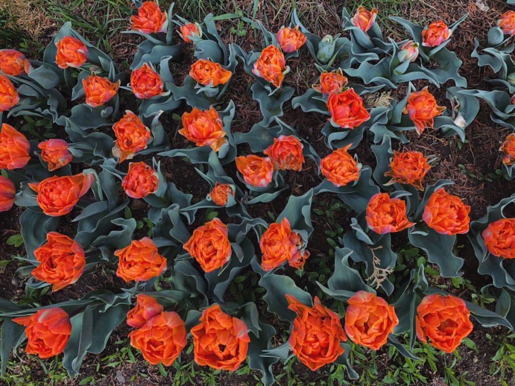 - IMG 3555 1024x768 - 30.000 de lalele colorează Grădina Botanică din Cluj