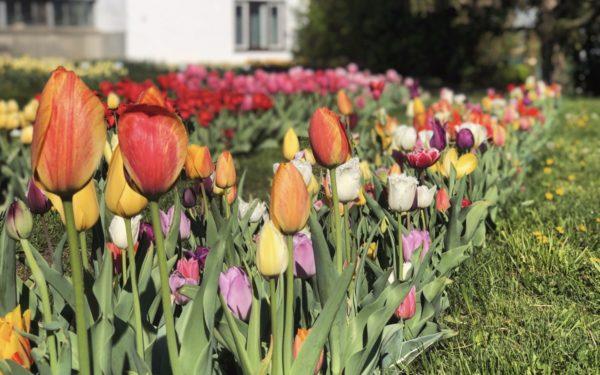 FOTO   Spectaculos! 30.000 de lalele colorează Grădina Botanică din Cluj