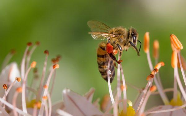 Salvați albinele noastre!