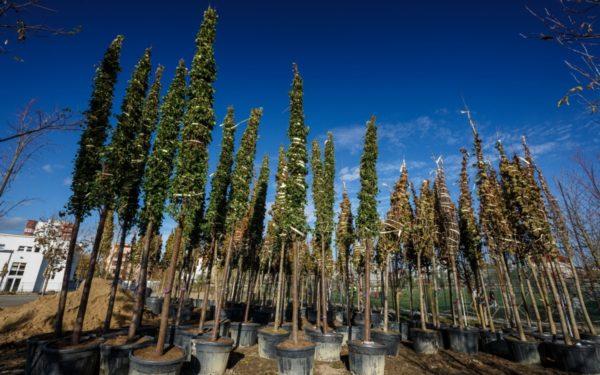 FOTO | A început plantarea copacilor în Parcul Între Lacuri. Amenajarea zonei se ridică la 2 milioane de euro