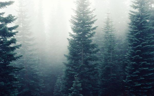 """La Cluj """"va răsări"""" o pădure a brazilor de Crăciun"""