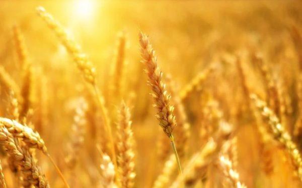Ordonanța Militară 9: Exporturile de grâu nu mai sunt interzise