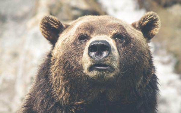 Alertă la Câmpia Turzii, după ce un urs a fost văzut pe străzi