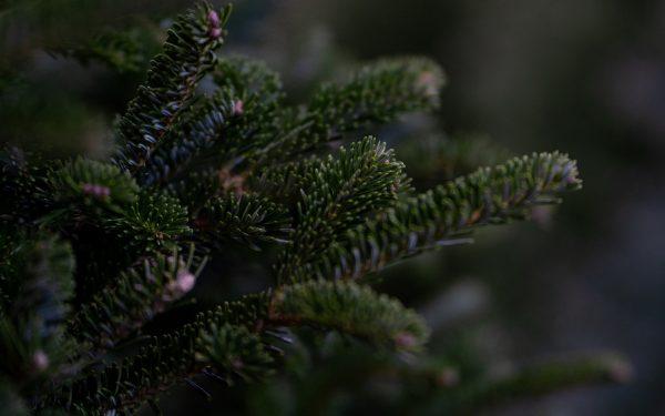 Clujenii se pot debarasa gratuit de brazii de Crăciun, până în 12 ianuarie